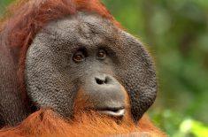 orangutan-tour-img-11