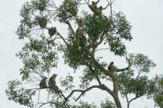 a-group-of-proboscis-monkey