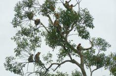 a-group-of-proboscis-monkey
